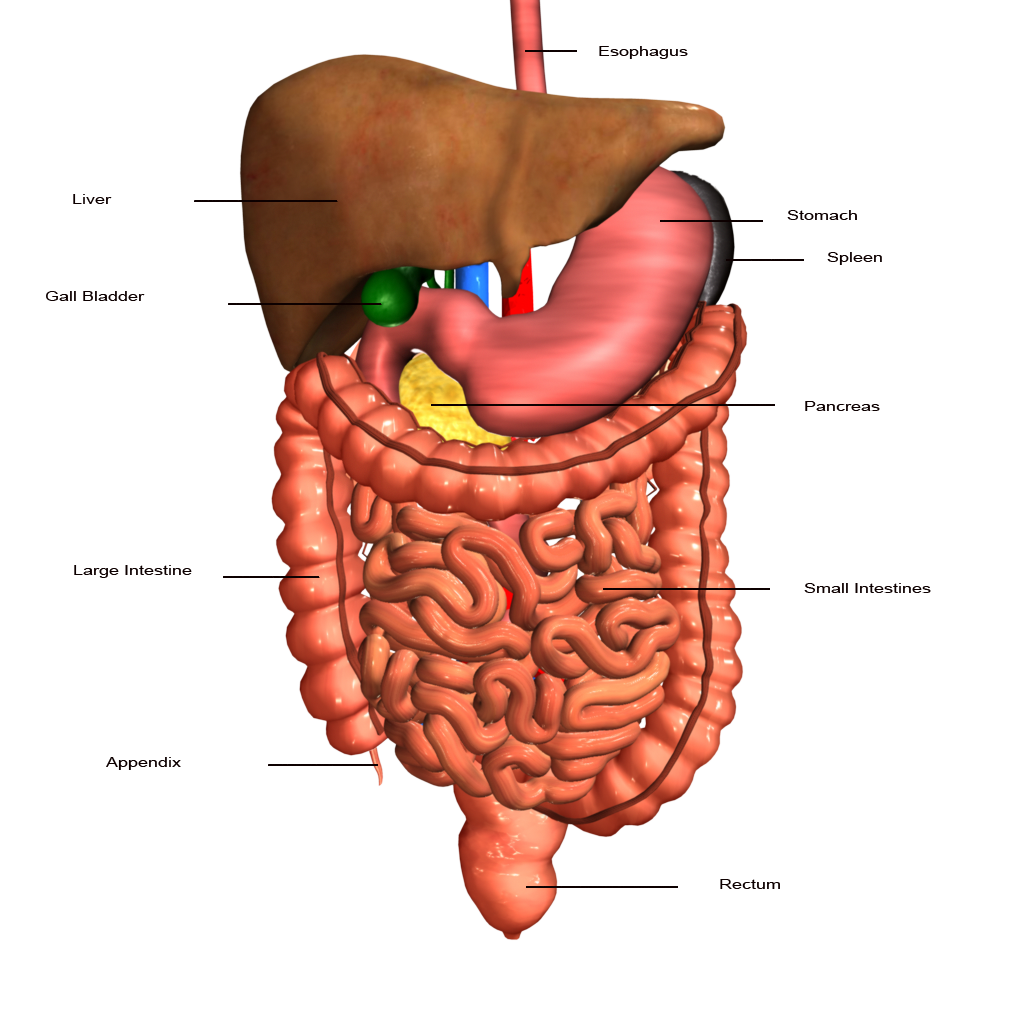 The Digestive System Human Body Home Page